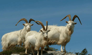 The Benefits of Inner Mongolian Cashmere